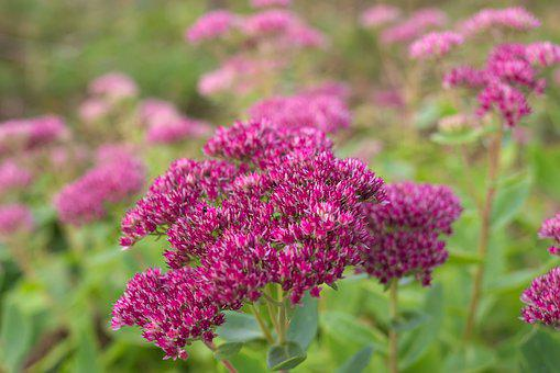 Nature, Macro, Hylotelephium, Purple, Colorful