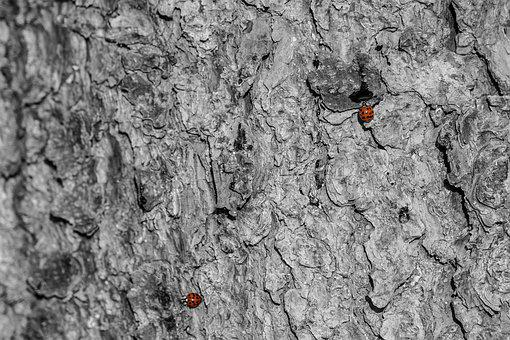 Ladybug, Red, Tree Bark, Black And White