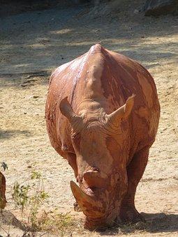 Rhino, Zoo, Animal, Rhinoceros, Mammal, Pachyderm, Skin