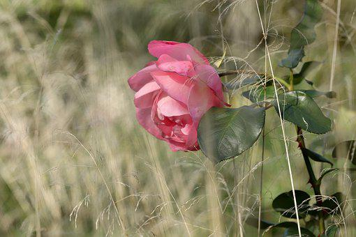 Rose, Blossom, Bloom, Pink, Petals, Grass, Meadow