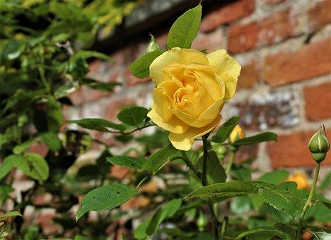 Rose, Flower, Yellow Rose, Romantic, Bloom, Blossom