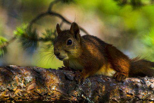 The Nature Of The, Animals, Squirrel, Pine, Summer