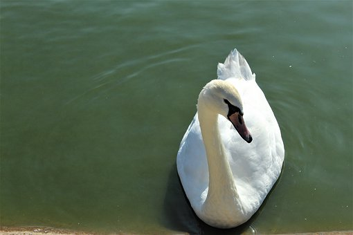 Bird, Swan, Nature, White, Swim, Plumage, Animal, Bill