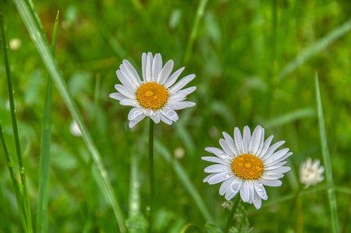 Daisies, Meadow, Rain, Wet, Grass, Green