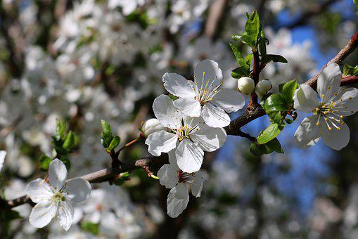 Spring, Trees, Blossom, Bloom, White, Nature, Branch
