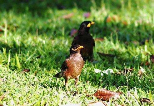 Myna, Outdoor, Wild, Bird, Wildlife, Natural, Nature