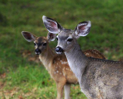 Deer, Doe, Nature, Wildlife, Fawn, Outdoors, Grass