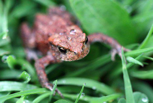 Toad, Small, Macro, Nature, Amphibian, Wildlife