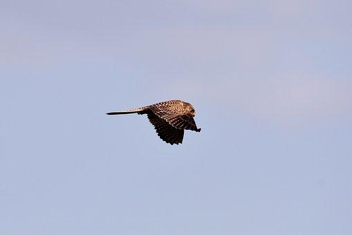 Valk, Bird Of Prey, Plumage, Flight, Wings, Air, Flying