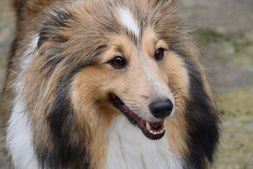 Dog, Shetland Sheepdog, Young Bitch, Dog Breed, Animal