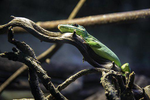 The Lizard, Animal, Gad, Nature, Zoo, Animals, Fauna
