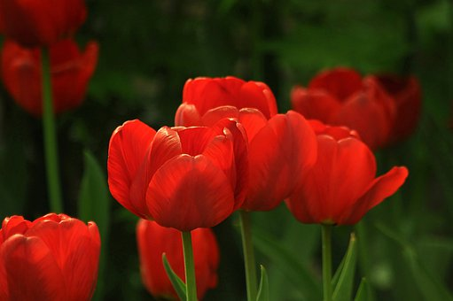 Tulips, Red, A Lot, Garden, Green, Spring, Blooming
