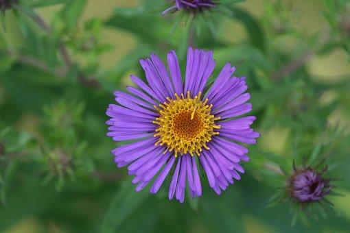 Flower, Aster, Nature, Plants, Garden, Bloom, Color
