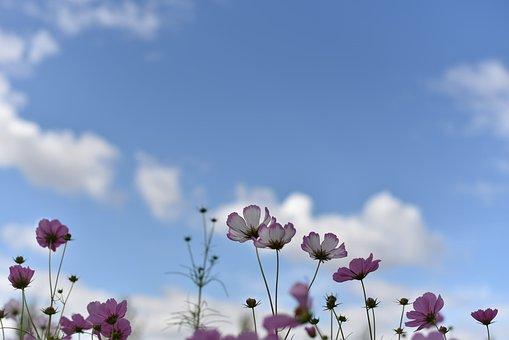 Cosmos, Autumn, Blue Sky, Sky, Cloud, Nature, Flowers