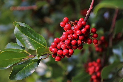 Red Berries, Sprig, Green, Vegetation, Autumn