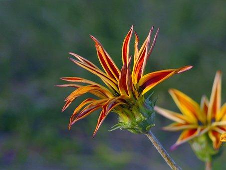 A Gazania, Flower, Autumn, Nature, Flora, Orange