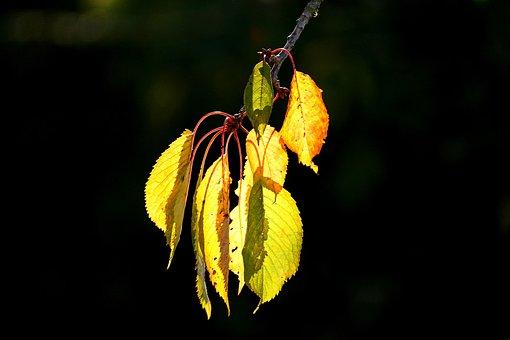 Leaves, Cherry Tree, Autumn Colours, Autumn, Sunlight
