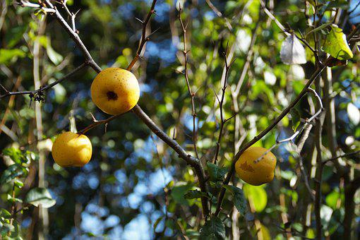 Quince, Fruits, Yellow, Apples, Fragrant, Autumn