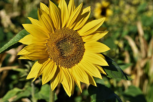 Sunflower, Blossom, Bloom, Yellow, Bloom, Bright