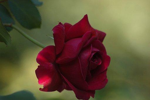 Flower, Rose, Red, Raspberry, Light, Background, Bloom