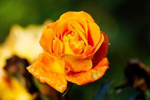 Rose, Blossom, Bloom, Flower, Romantic, Rose Bloom