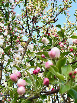 Easter Blossoms, Spring Tree, Buds, Pink, Spring
