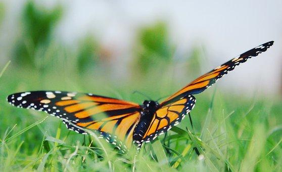 Butterfly, Orange, Bright, Nature, Monarch