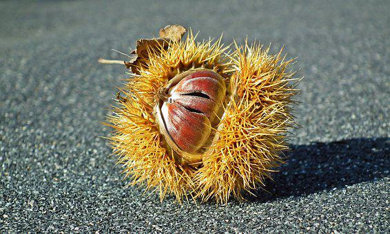 Chestnut, Edible, Barbed, Brown, Autumn, Fruit