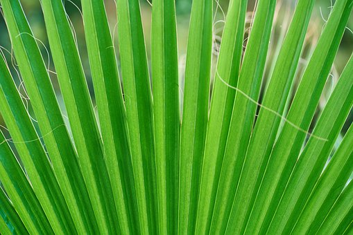 Palm, Tree, Leaves, Macro, Detail, Green, Texture