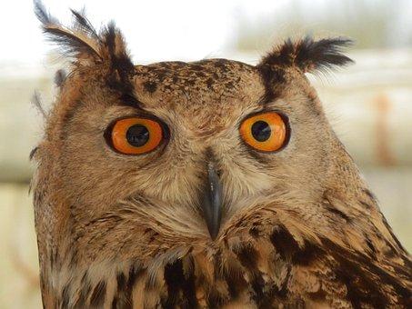 Owl, Eyes, Animal, Nature, Predator, Bird, Falconry