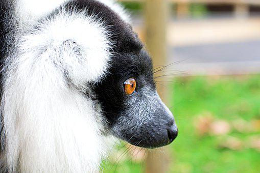 Black And White Ruffed Lemur, Face, Primate, Madagascar