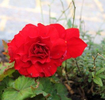 Begonia, Blossom, Bloom, Red, Flower, Garden, Nature