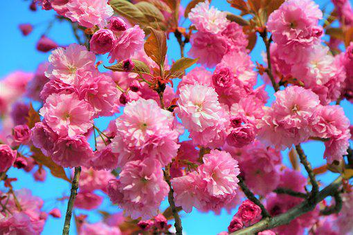 Flower, Nature, Cherry, Spring, Plant, The Leaves Are