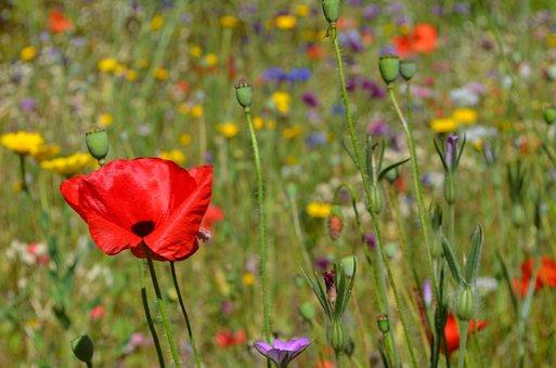 Klatschmohn, Flowers, Poppy, Flower Meadow