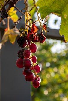 Grape, Autumn, Season, Nature, Acini, Leaves, Green