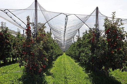 Apple, Plantation, Apple Trees, Harvest, Fruit, Red