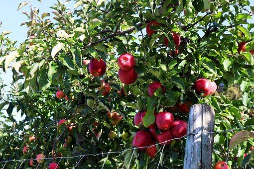 Apple, Harvest, Autumn, Lake Constance, Plantation, Red