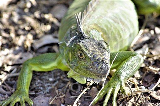 Iguana, Staring At Camera, Closeup, Dragon, Lizard