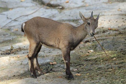 Capricorn, Animals, Mammals, Fauna, Nature, Wild, Horns