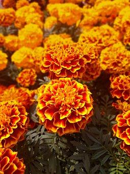 Marigolds, Flower, Bright, Orange, Gardening