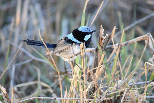 Bird, Wren, Superb Fairy Wren, Nature, Outdoors