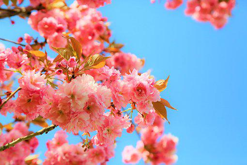 Flower, Cherry, Tree, Pink, Nature, Spring, Blooming