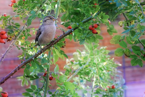 Sparrow, Bird, Sitting, Pom, Branch, Leaves, Green