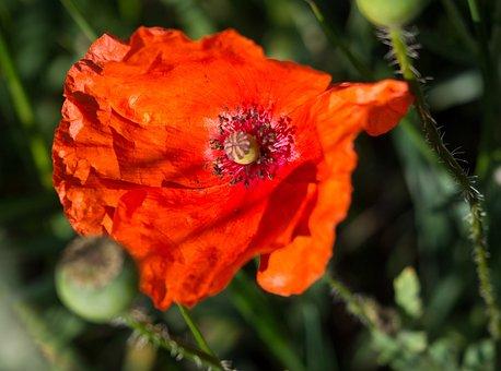 Spring, Flowers, Poppy, Poppies, Flower, Plant, Nature