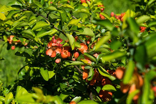 Quince, Bloom, Spring, Red, Bush, Plants, Flowers