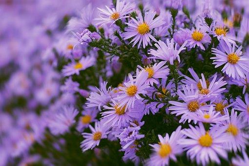 Flowers, Flora, Astra, Santbrink, Blue, Season