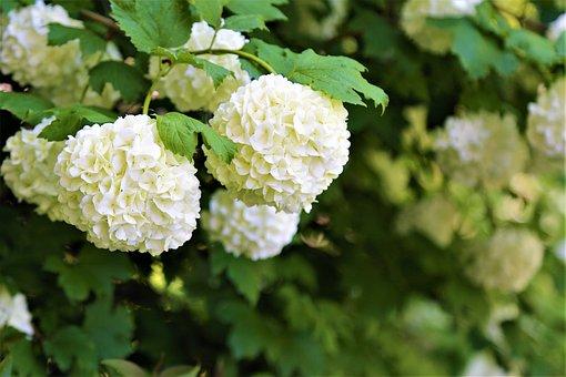 Flower, Nature, Spring, Plant, Garden, White