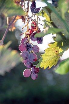 Earth Hour, Grapes, Ripe, Sukkot, October, Season