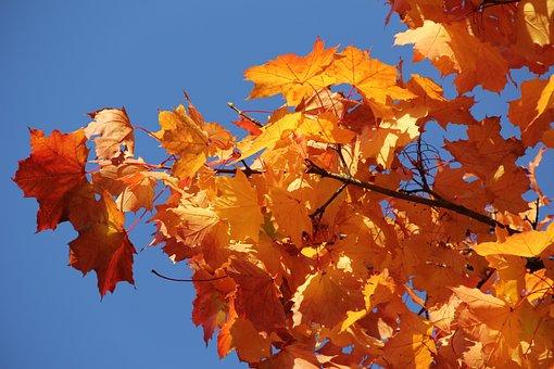 Maple Leaves, Yellow, Orange, Blue Sky, Sun, Bright