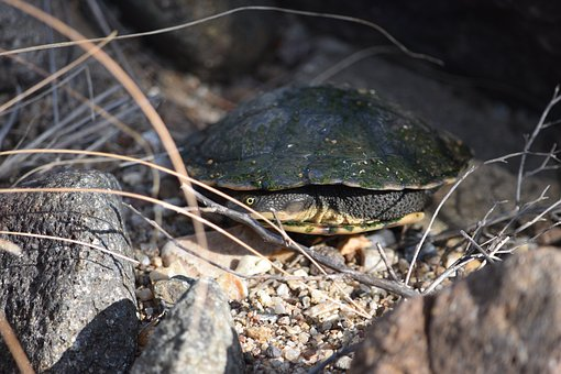 Turtle, Long-necked Turtle, Animal, Mammal, Outdoors